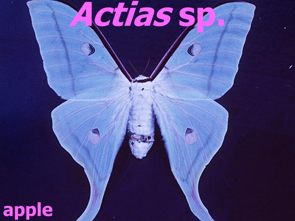 apple Actias sp.