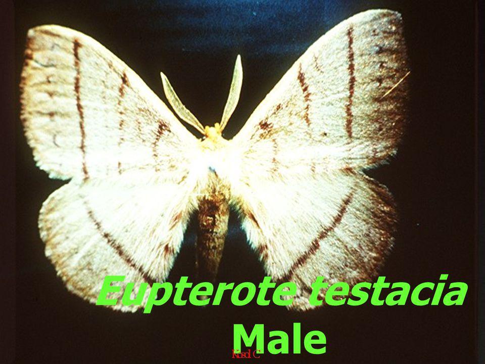 Eupterote testacia Male