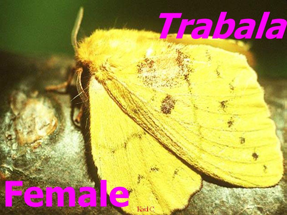 Female Trabala