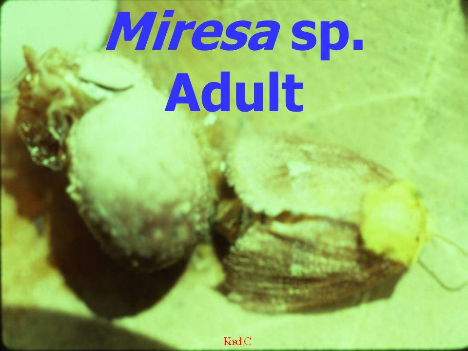 Miresa sp. Adult