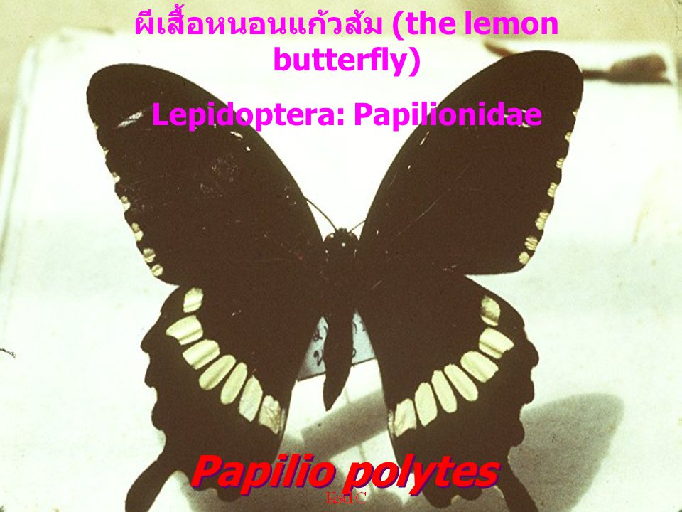 Papilio polytes ผีเสื้อหนอนแก้วส้ม (the lemon butterfly) Lepidoptera: Papilionidae