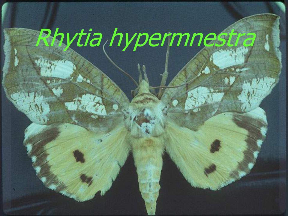 Rhytia hypermnestra