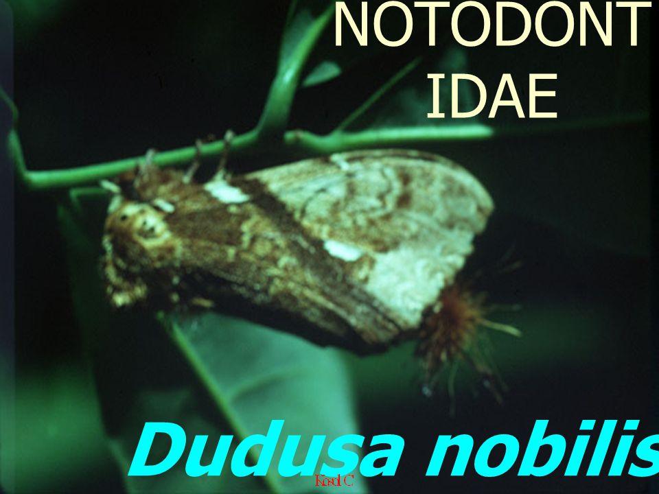 Dudusa nobilis: Adult NOTODONT IDAE