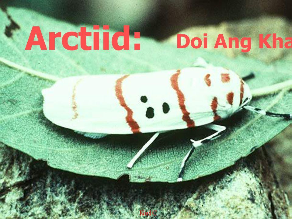 Doi Ang Khang,1976 Arctiid: