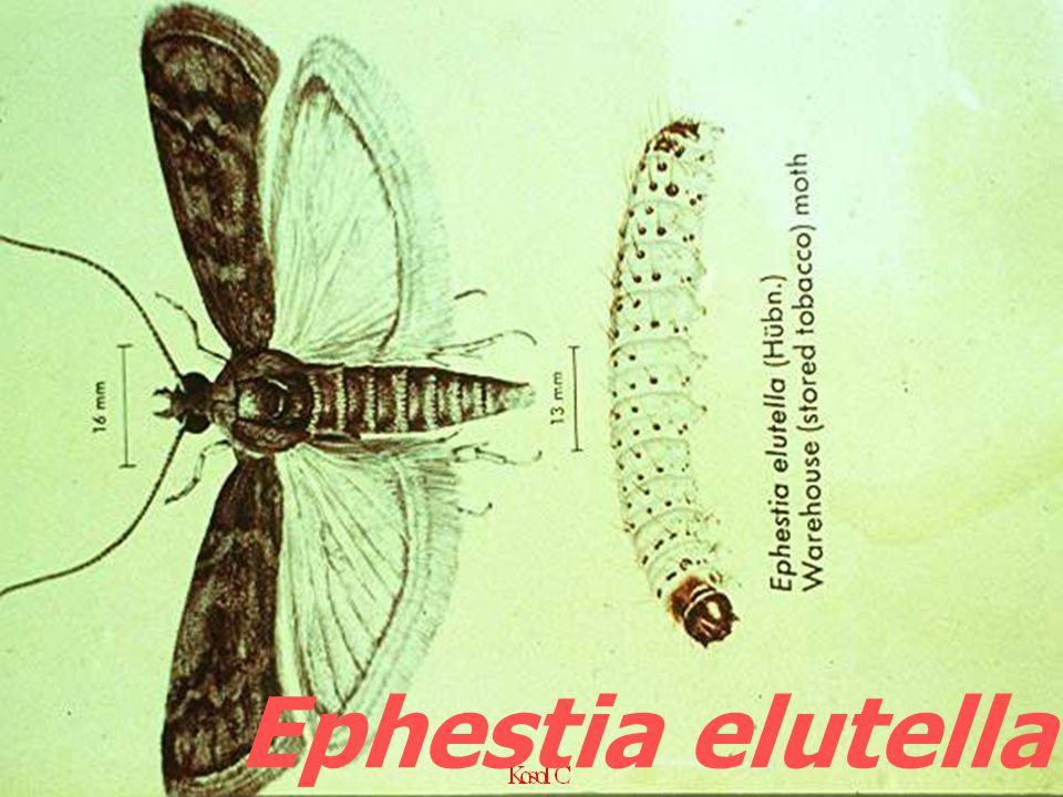 Ephestia elutella