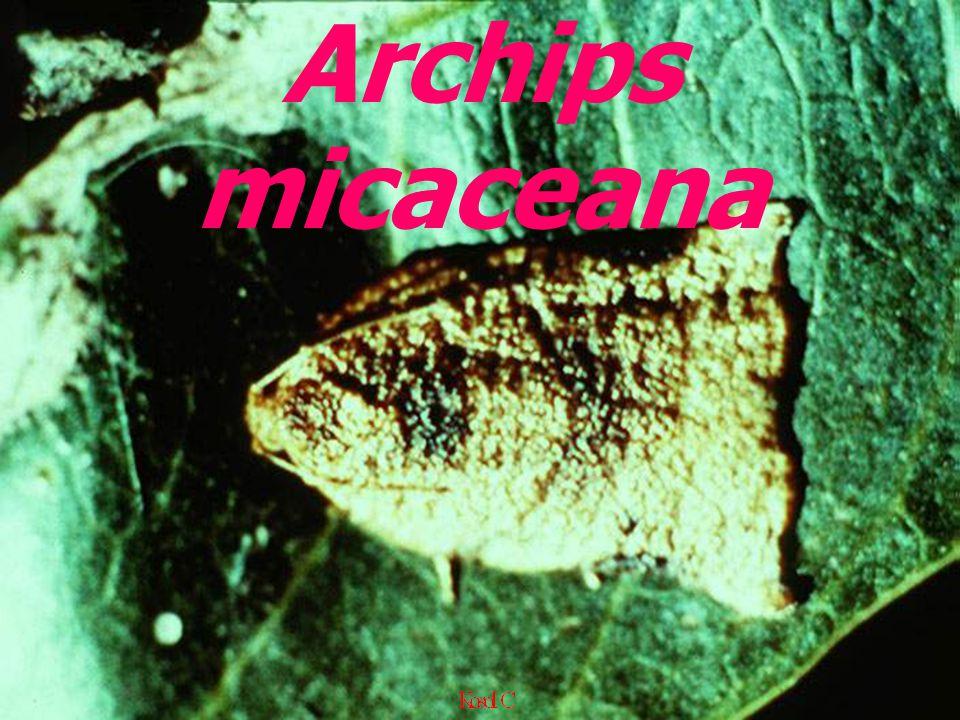 Archips micaceana