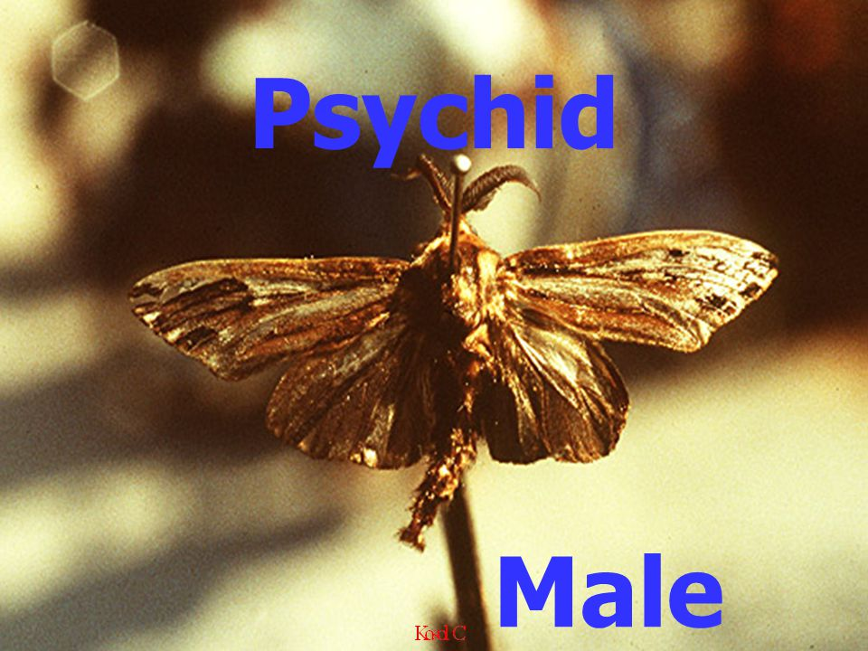 Male Psychid