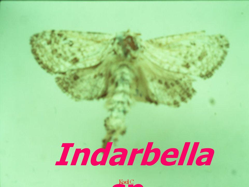 Indarbella sp.
