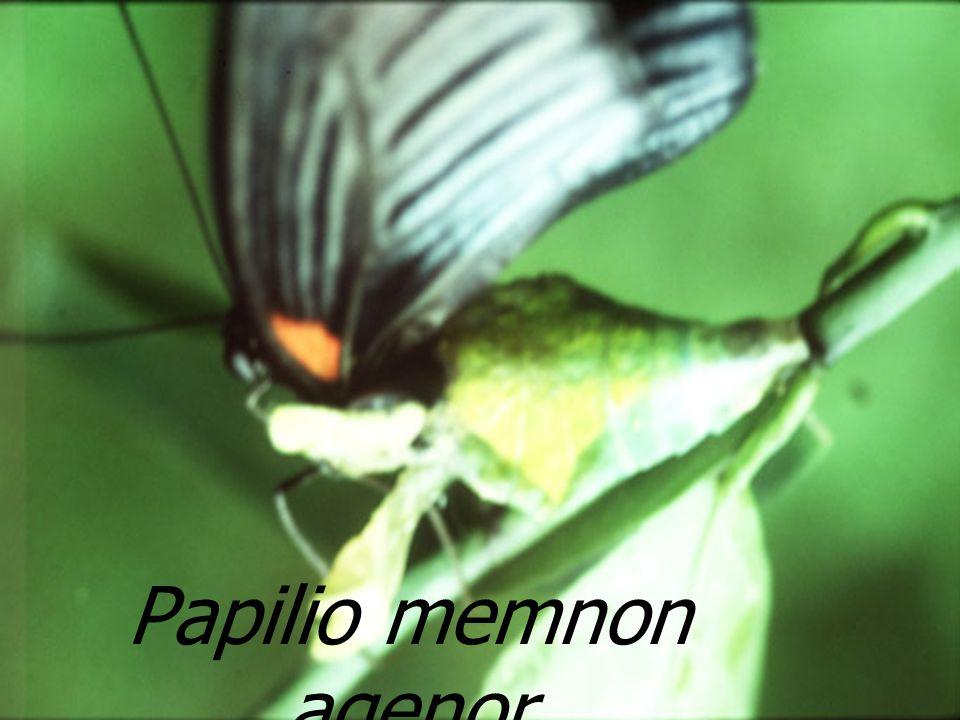 : Castor Conogethes punctiferalis