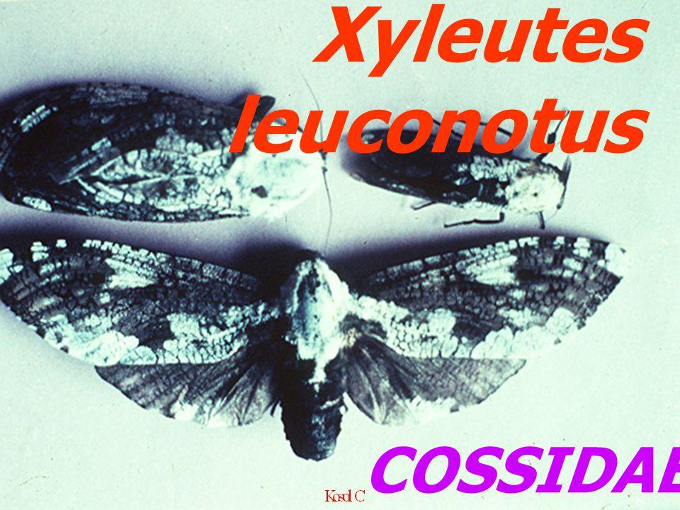 Xyleutes leuconotus COSSIDAE