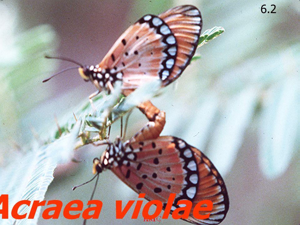 6.2 Acraea violae