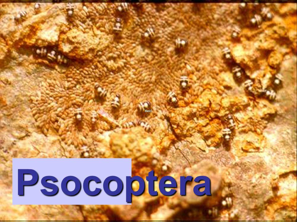 Goniocotes sp. Phthiraptera