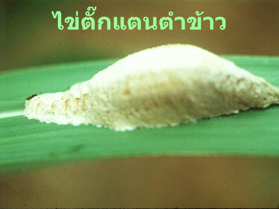 Chelisochid: 40 eggs