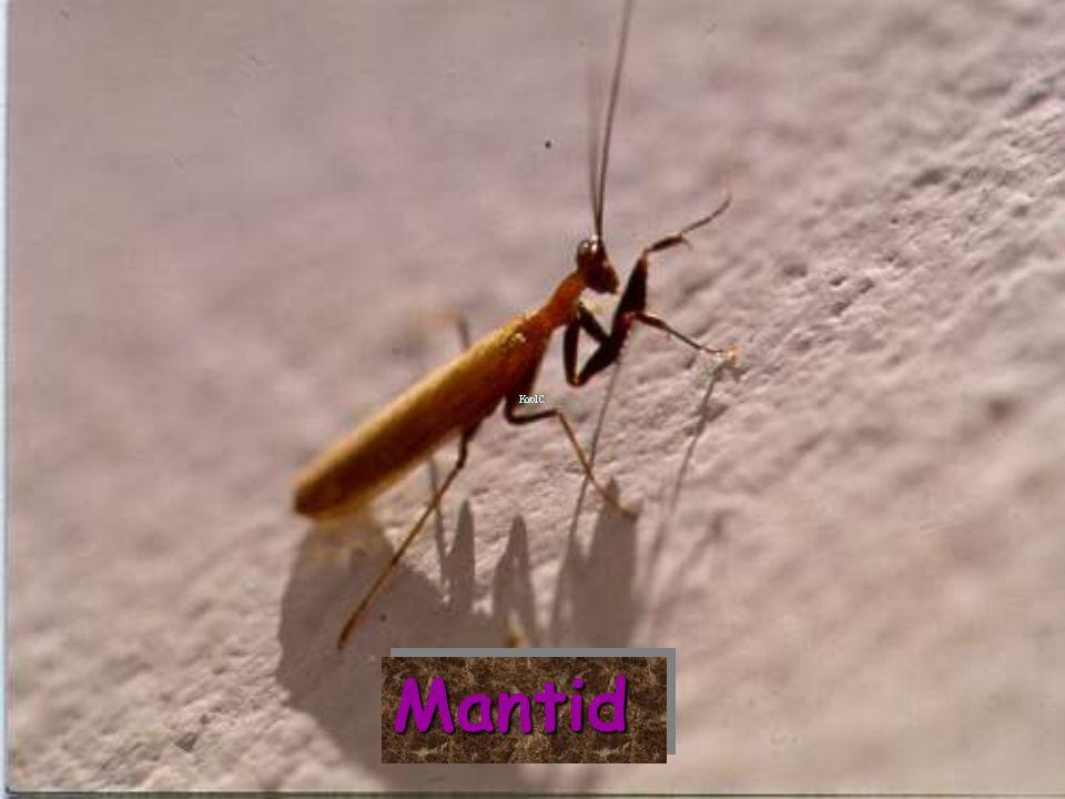 MantidMantid