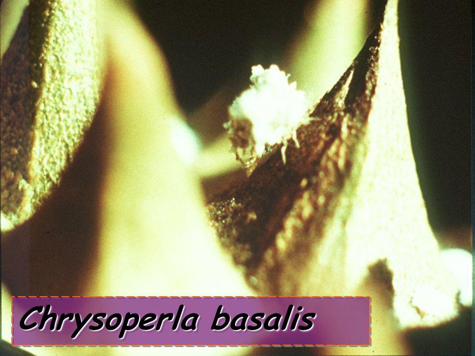 Chrysoperla sp.: egg Chrysoperla sp.: egg