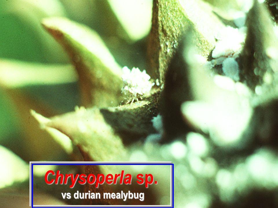 Chrysoperla sp. Chrysoperla sp.