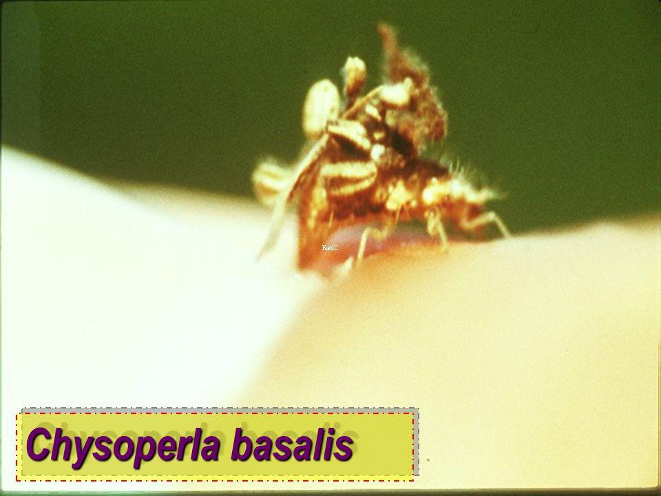 Chrysoperla sp. vs durian mealybug