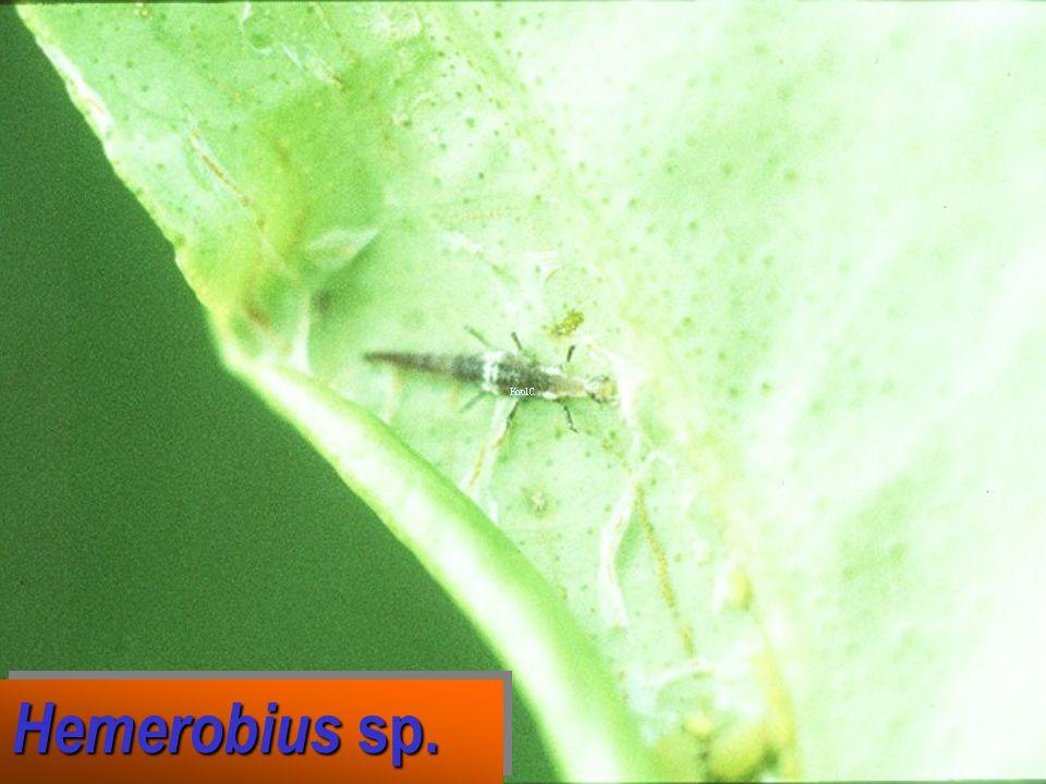 Hemerobius sp.: eggs Hemerobius sp.: eggs