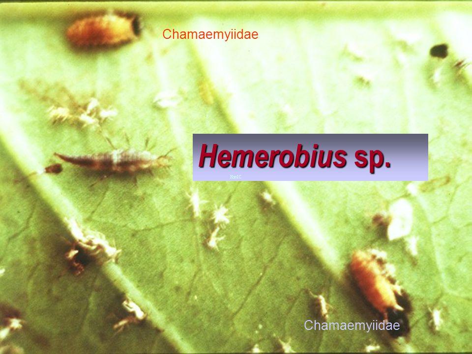 Hemerobius VS Ceratovacuna lanigera Ceratovacuna lanigera Hemerobius VS Ceratovacuna lanigera