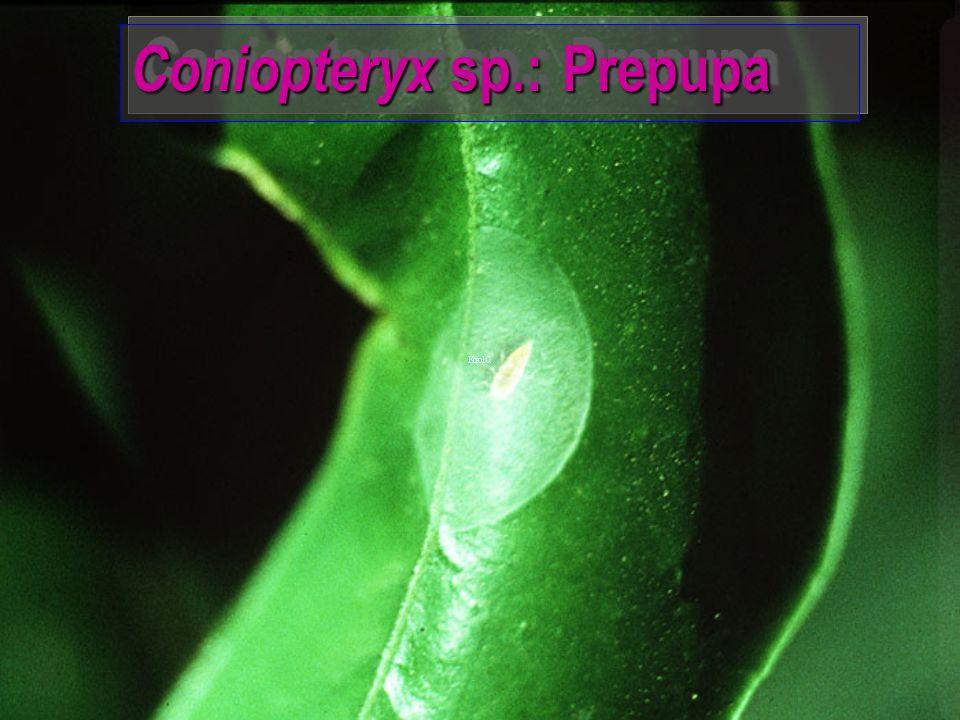 Coniopteryx sp.
