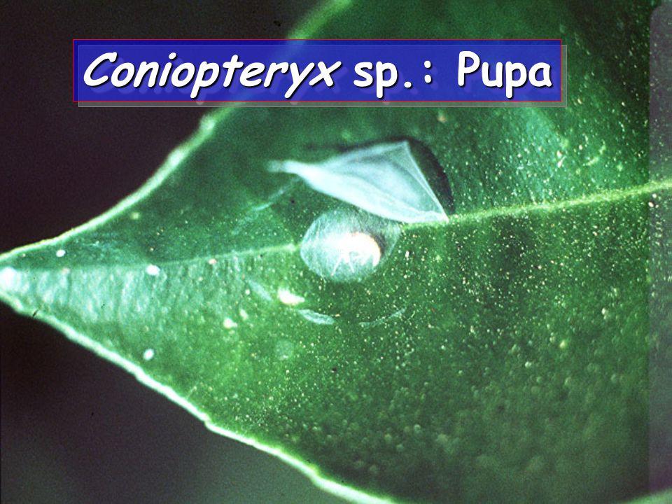 Coniopteryx sp.: Prepupa Coniopteryx sp.: Prepupa