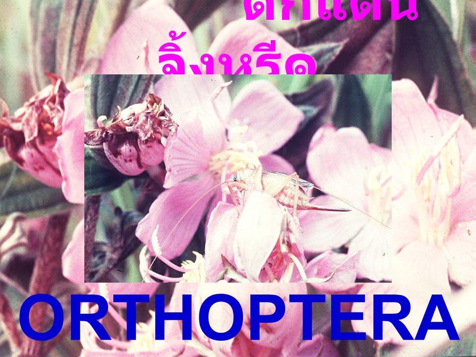 Coniopteryx sp.: Pupa Coniopteryx sp.: Pupa