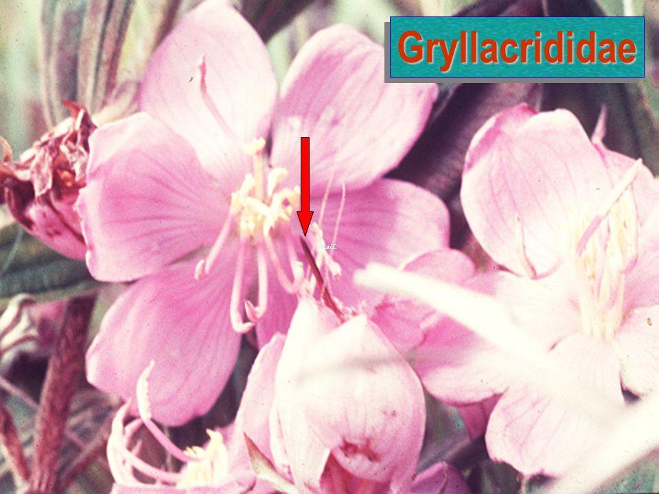 Gryllacrididae: Egg & N1