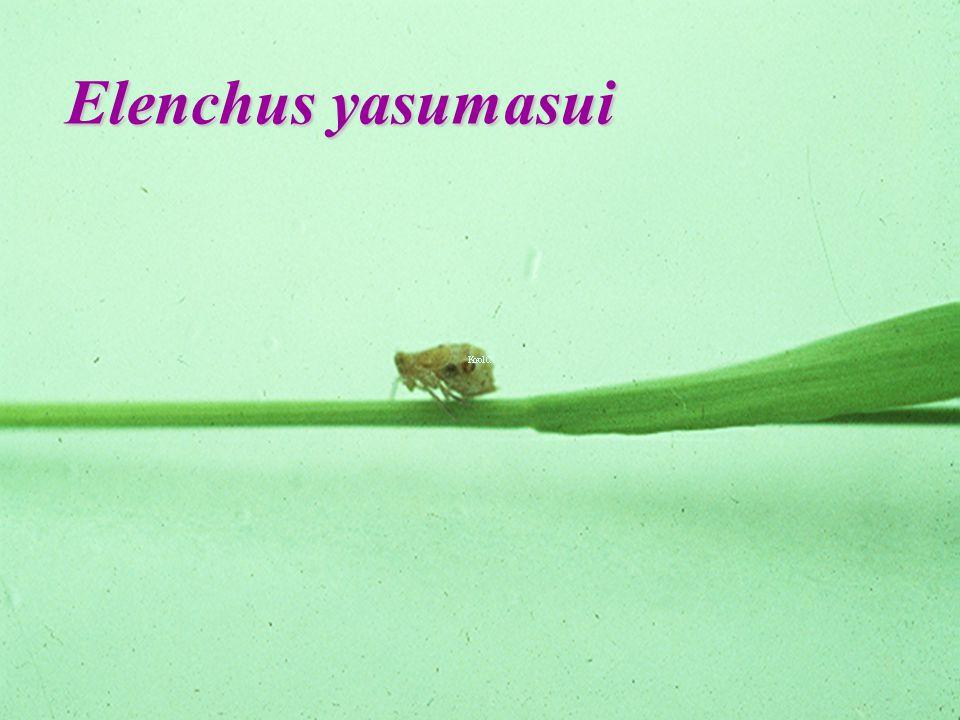 GryllacrididaeGryllacrididae