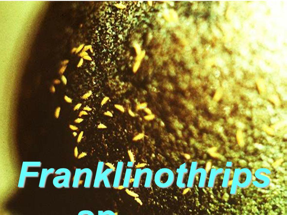 Franklinothrips vespiformis