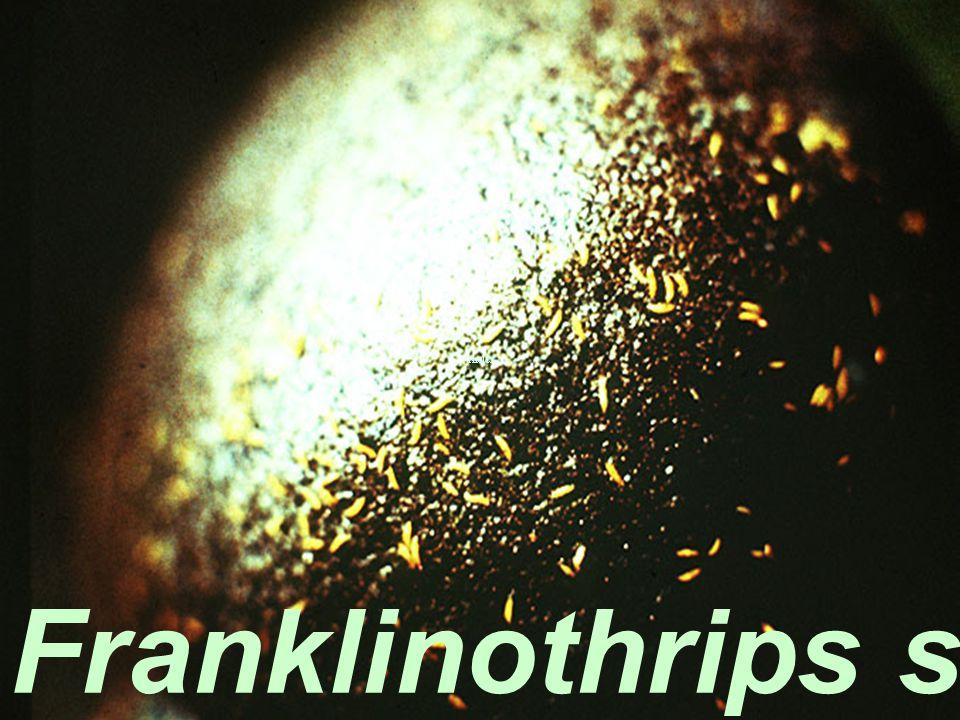 Franklinothrips sp. sp. Bang KLa
