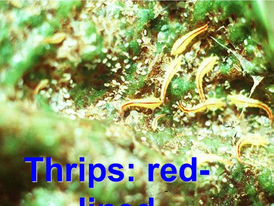 Thrips leaf gall