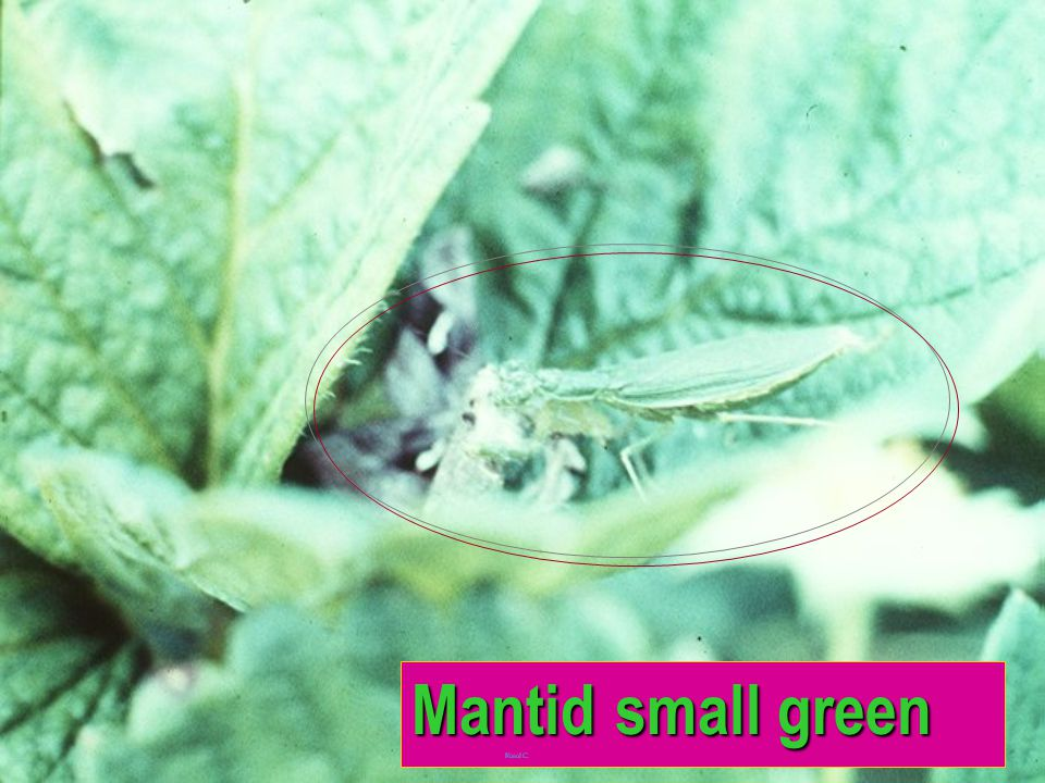 Mantid green fr San