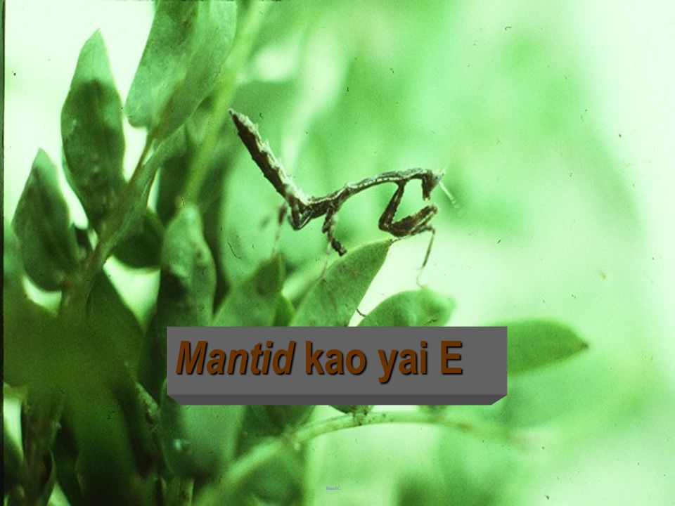Mantid small green