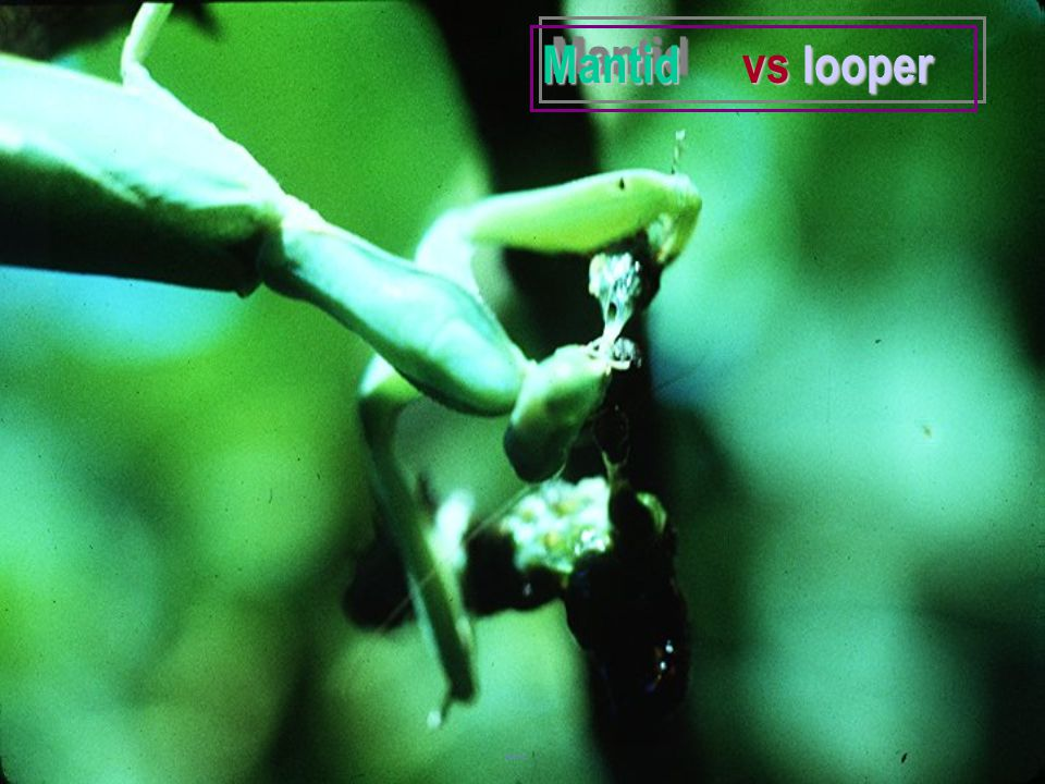 Mantid vs looper