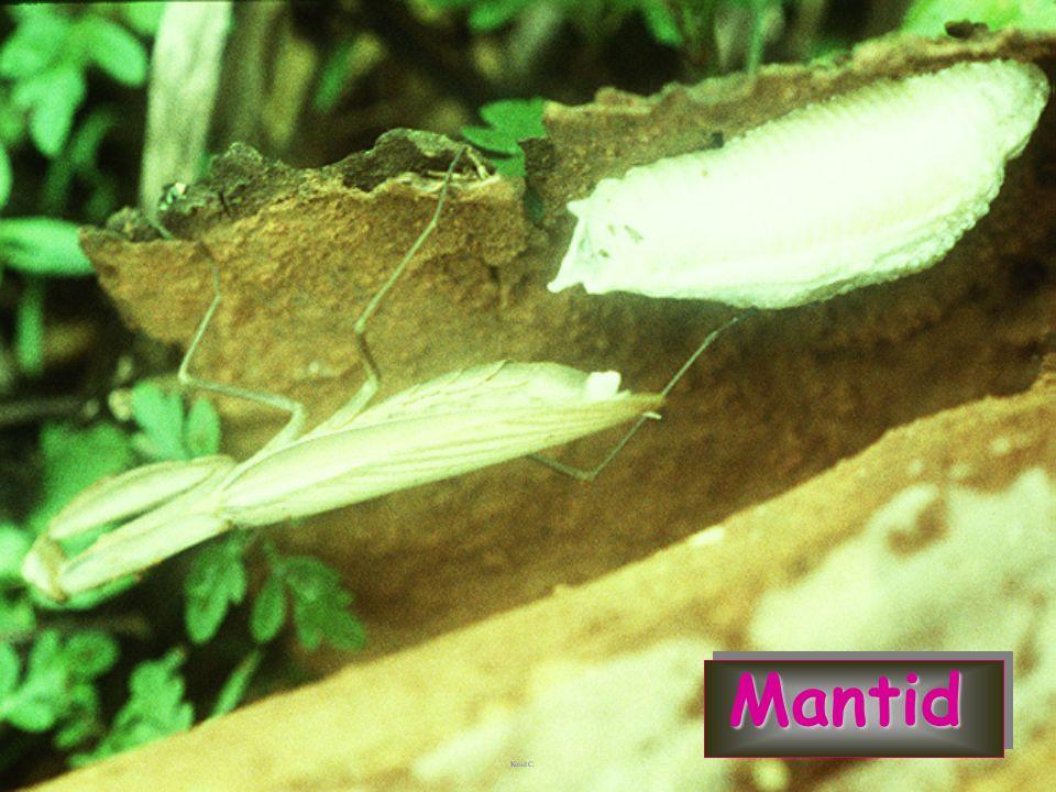 Mantid Large green