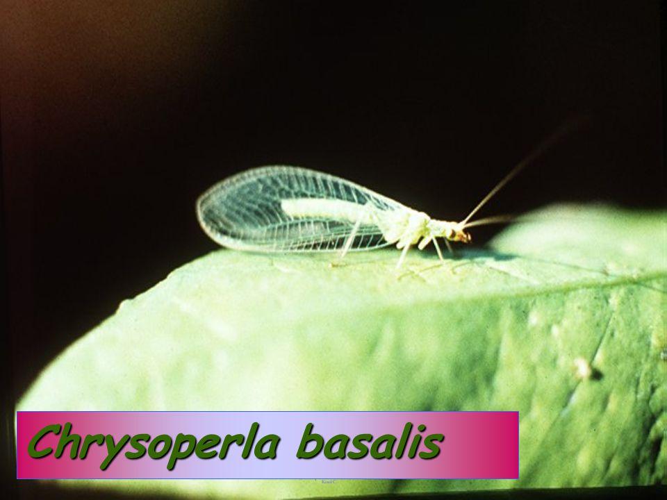 Chrysoperla:PupaChrysoperla:Pupa