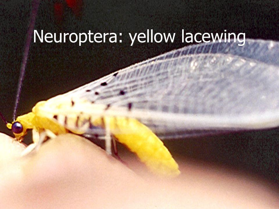 Neuroptera: black lacewing