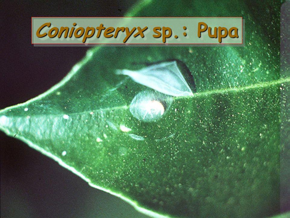 Coniopteryx sp.: Prepupa