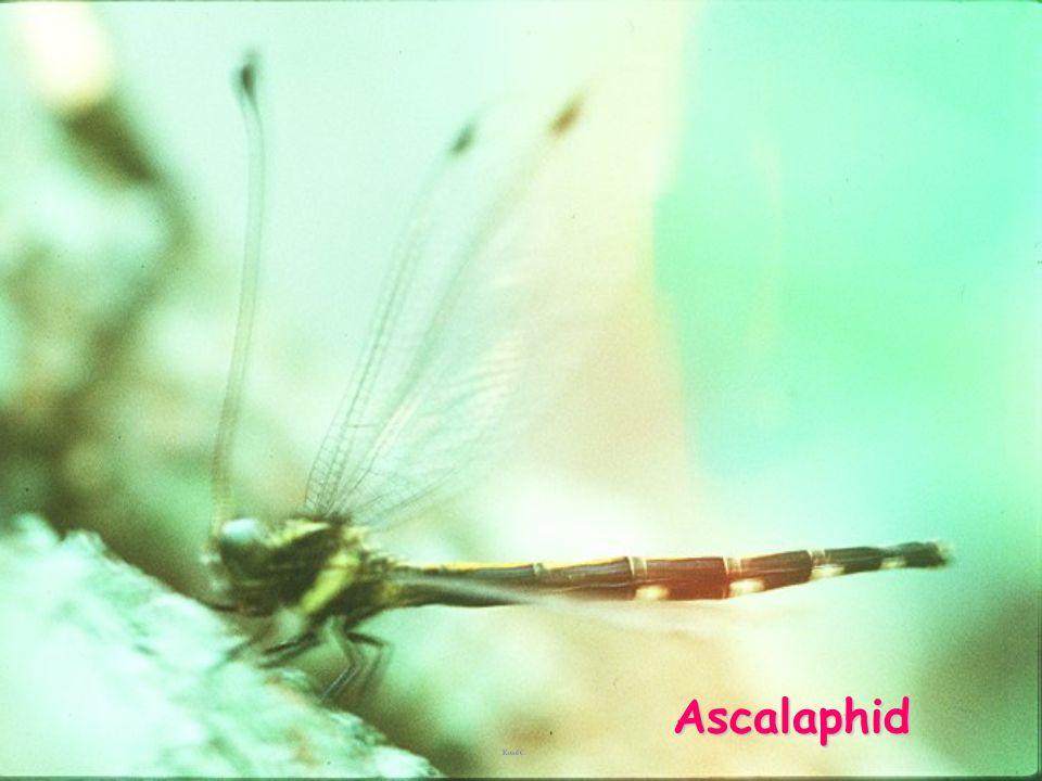Ascalaphid