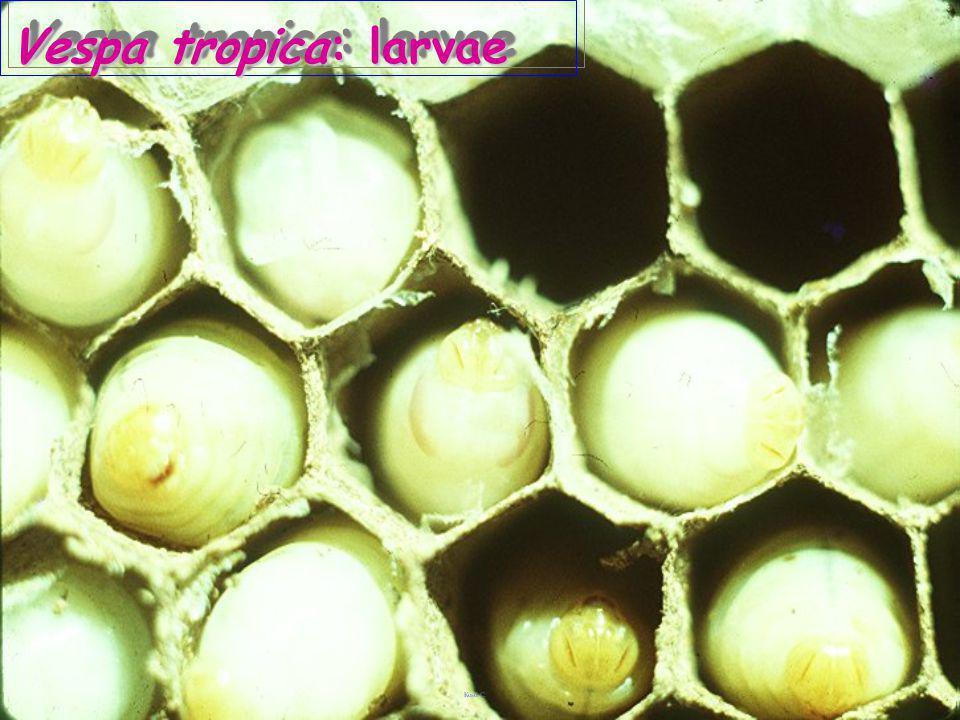 Vespa tropica: eggs ด่อเสือ