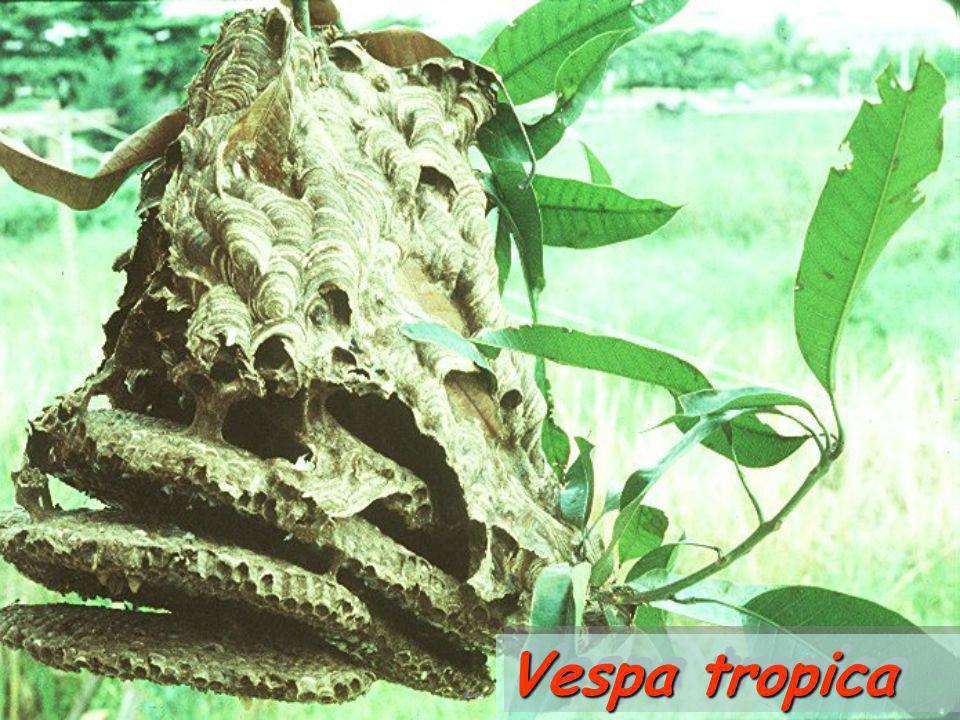 Vespa tropica: larvae