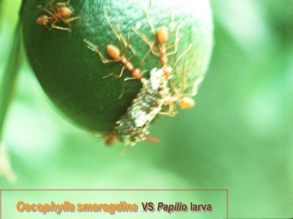 Oecophylla smaragdina vs Libellulid Oecophylla smaragdina vs Libellulid