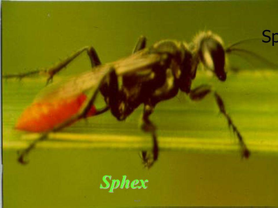 Sphecid in spider silk