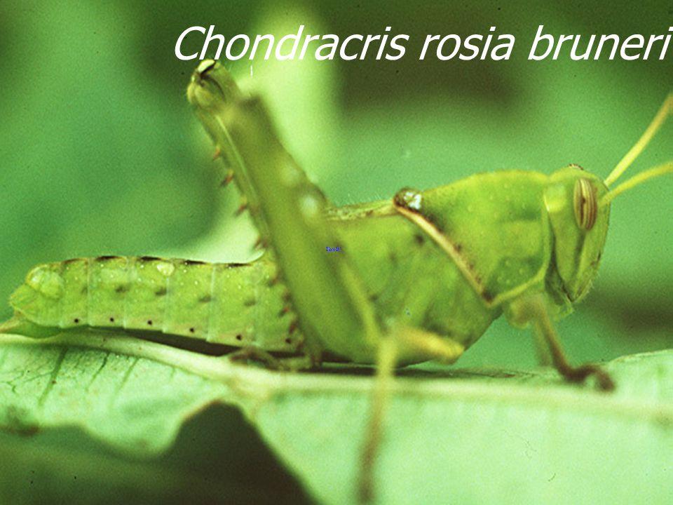 Chondracris rosea bruneri