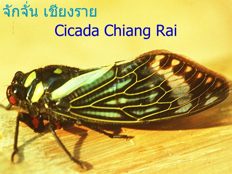Chondracris rosia bruneri