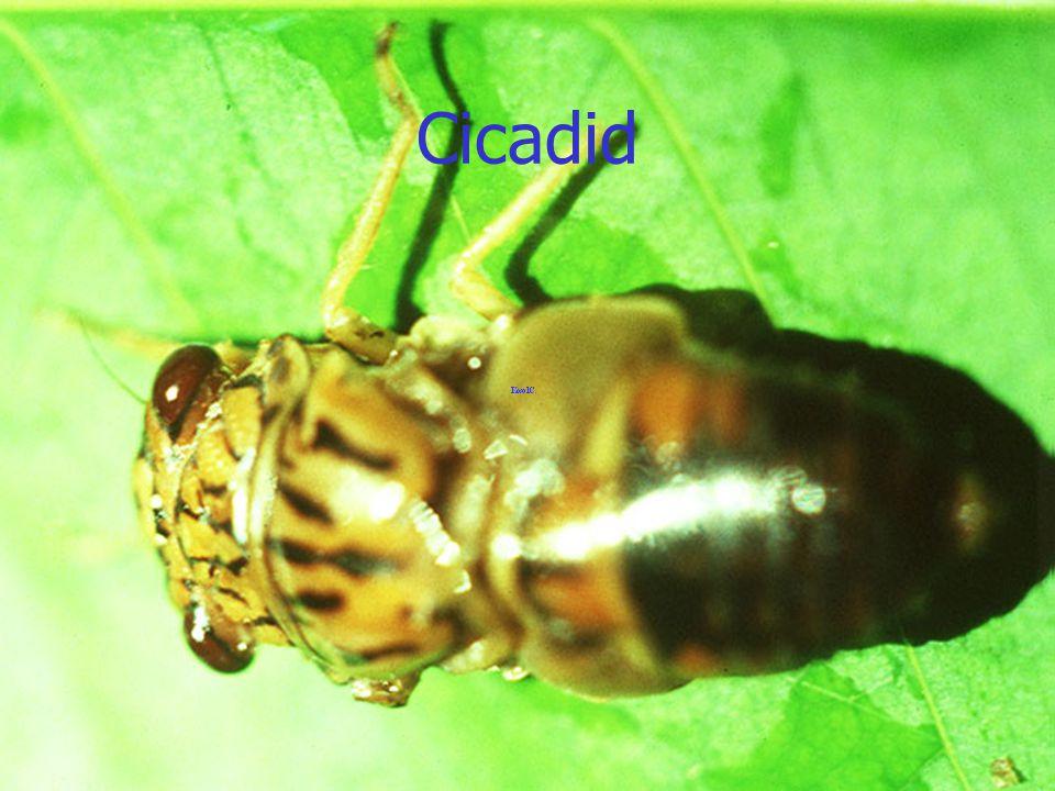Cicadid