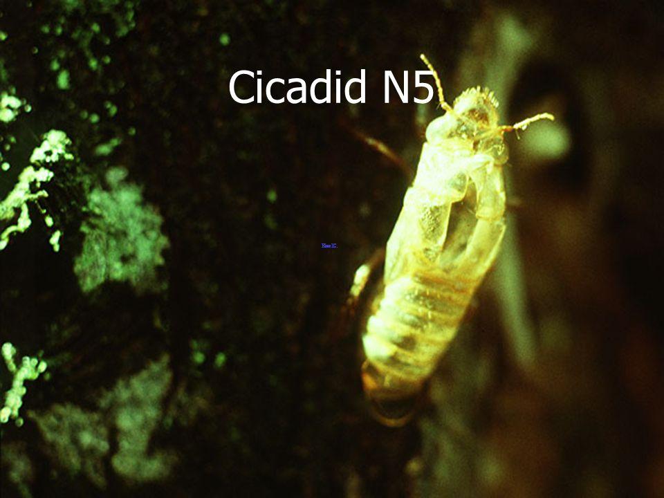 Cicadid Black