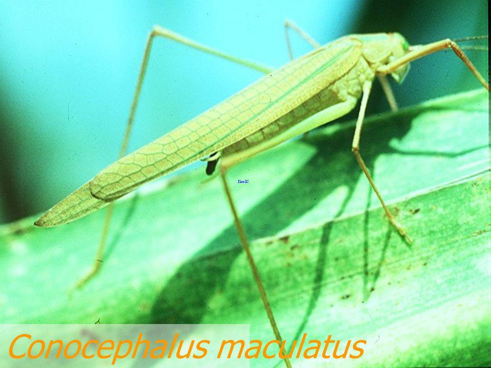 Conocephalus longipennis