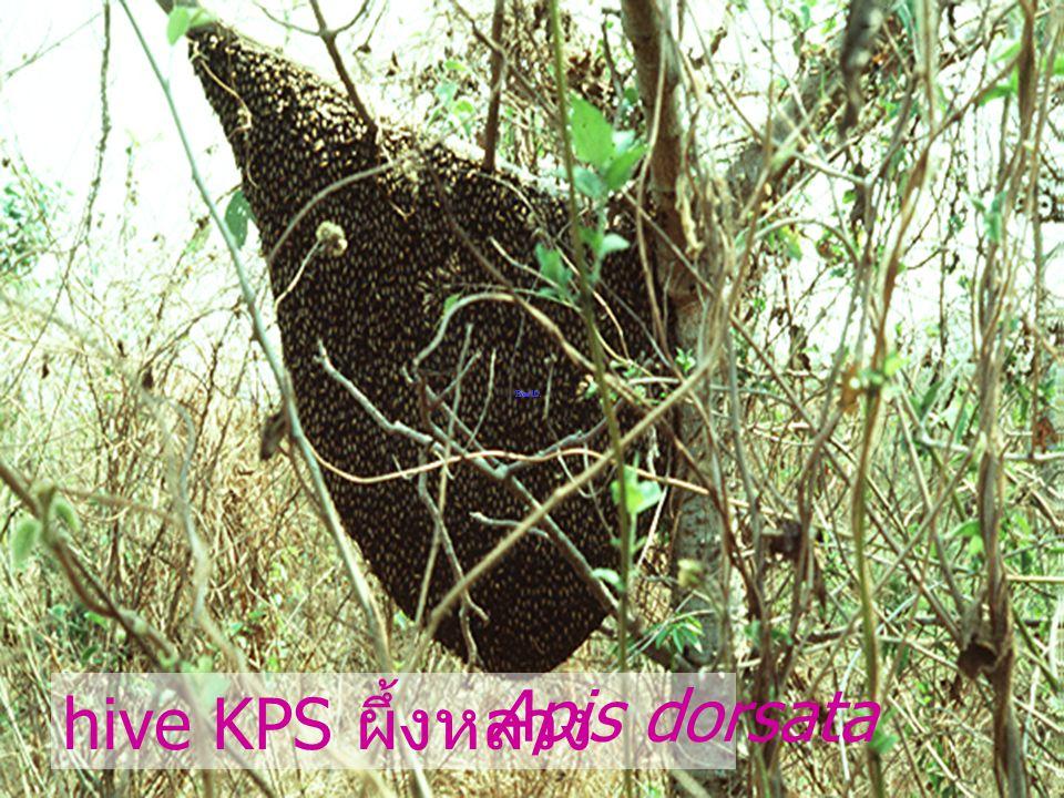 hive KPS ผึ้งหลวง Apis dorsata