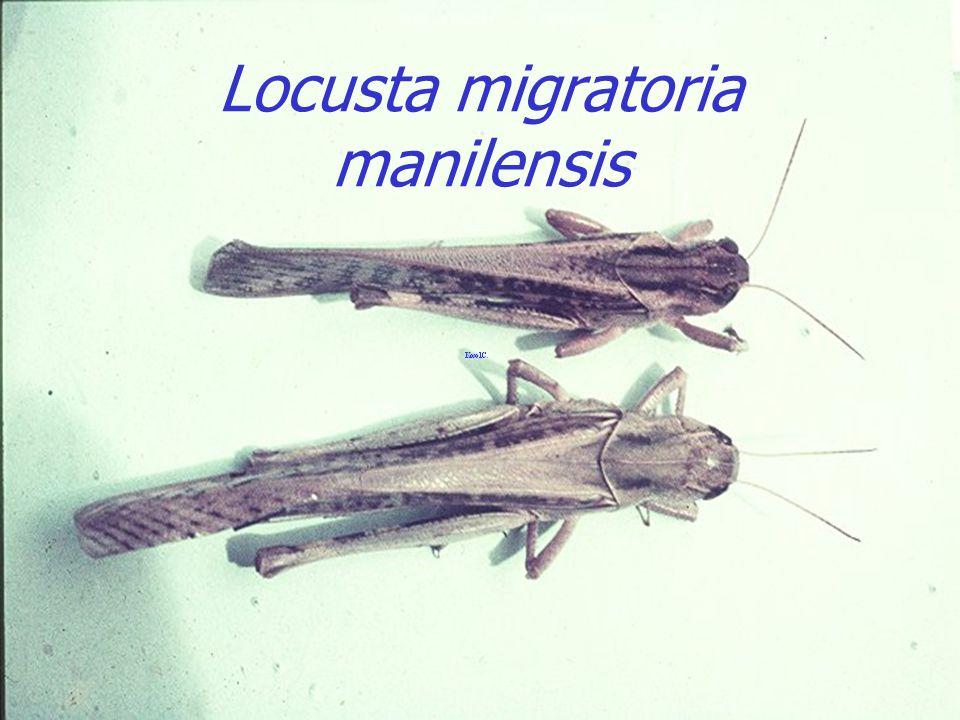 Eggs Locusta migratoria manilensis